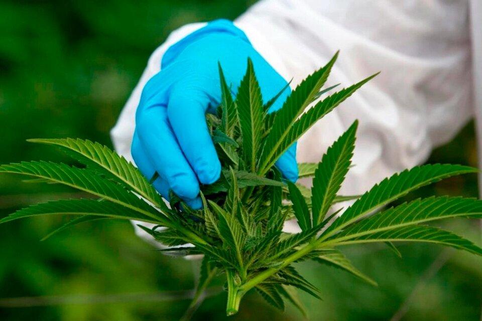 Qué dice el proyecto de ley de Cannabis